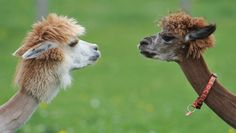 Alpaca face off -- from article on fashion uses, and how alpacas are much more sustainable than cashmere goats.