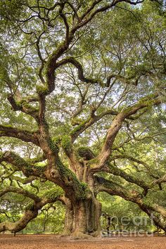 The giant Angel Oak tree on Johns Island South Carolina is said to be 1400 years old | Photo by Dustin K Ryan with Pin-It-Button on FineArtAmerica