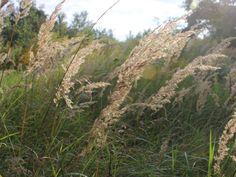 Halme im Wind. Auf der Septemberwiese  #leipzig #lindenau