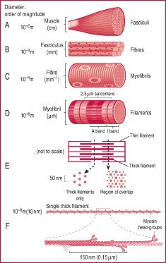 Looking for online definition of skeletal muscle tissue in the Medical Dictionary? What is skeletal muscle tissue? Meaning of skeletal muscle tissue medical term. What does skeletal muscle tissue mean? Biology Jokes, Teaching Biology, Hair Science, Medical Dictionary, Muscle Definition, Chemistry Lessons, Muscle Contraction, Medical Anatomy, Human Anatomy And Physiology