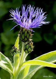 Centaurée | Flickr - Photo Sharing!
