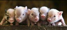 Love my Piggy's