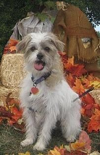 My very own Banz at the fall puppy fair.   A rescue dog and the best boy ever!  Half Jack Russel terrier and half Shi tzu.