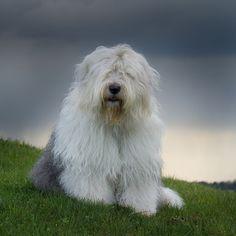 Old English Sheepdog                                                                                                                                                                                 More