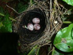 A bulbul's bird nest