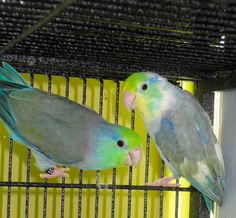 Handfed Baby Parrotlets and Rare Color Parrotlets