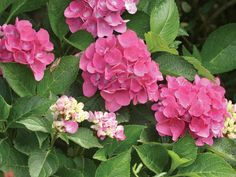 Like Cityline 'Paris Rapa', the bigleaf hydrangea 'Venice' hails from Germany. Extremely disease-resistant, it opens deep pink flowers that turn green as they mature. Give it partial shade to full sun in zones 5 to 9; at only 1 to 3 feet tall, it's ideal for containers.