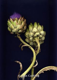 Ann Cutting Photography  Blooming artichoke plants