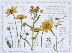 Middlewood Journal: Lance-leaf Coreopsis, Southern Ragwort & Daisy Fleabane