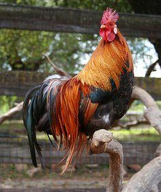 GORGEOUS Chickens Ohiki Flytie Phoenix Silkie Bantam Mixed Flock hatching eggs