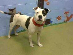 URGENT--- ID#A457095 I am described as a female, white and black Pit Bull Terrier mix. The shelter thinks I am about 2 years. I have been at the shelter since Nov 19, 2015 and I am available for adoption now! Moreno Valley, CA Animal Services