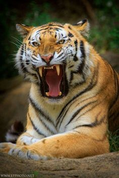 Tiger tattoo reference @kevindaviestattoo