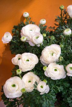 divine white....