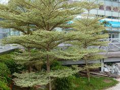 Terminalia mantaly cv. 'Tricolor' reminds me of Coprosma ciliata