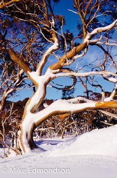 Colourfull Snowgum