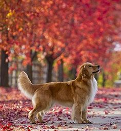 Golden in Fall