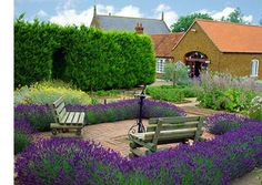 Norfolk Lavender - Buy Lavender Plants and Lavender Products. Explore information about our Lavender collection, our idyllic Norfolk Location and our Rare Breeds centre. Buy Lavender Plants, Provence Lavender, Lavender Blue, Herb Garden, Garden Art, Garden Plants, Norfolk Lavender, Garden Bridge, Garden Landscaping