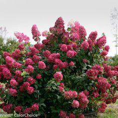 fire light hydrangea from is the new coldhardy standard - Vanilla Strawberry Hydrangea