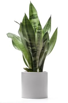 Five houseplants that can be grown in low light. Pictured: Snake plant (Sansevieria Trifasciata).