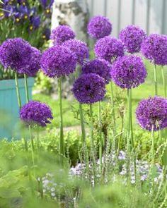 Allium Allium aflatunense Purple Sensation from Netherland Bulb