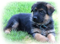 German Shepherd Puppies for Sale | Health Certified