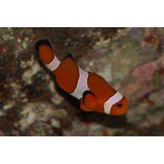 Ocellaris Clownfish - petco has a great return policy http://www.petco.com/product/101788/Ocellaris-Clownfish.aspx