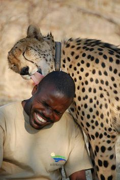 Man Laughs while Cheetah gives him 'kisses', I have no words..., Love in South Africa❤️