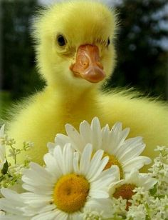 Fluffy, adorable duck