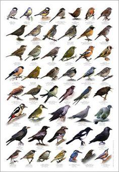 Poster - Heimische Vögel