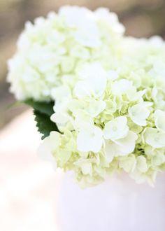 Hortensia kleur wit, maand maart t/m Oktober