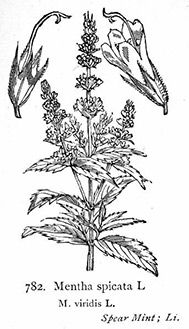 Study: Spearmint Oil Shows Lung Protection in Rats with COPD http://blog.younglivingcircle.com/2013/03/29/study-spearmint-oil-shows-lung-protection-in-rats-with-copd/