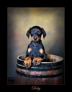 <3 Doberman Love, Doberman Puppies, Kinds Of Dogs, Bloodhound, Doberman Pinscher, Service Dogs, Rottweiler, Bull Terrier, I Love Dogs