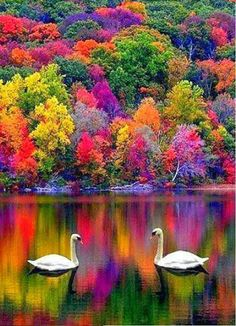 Autumn in New Hampshire, USA  Love the swans' reflection in this because it kind of plays on a sort of yin yang nature