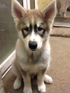 His markings are striking! Especially around his eyes #huskypuppy