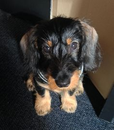 wired haired doxie