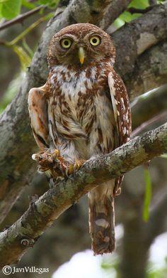 Pearl-Spotted Owlet by Javi Villegas, via 500px