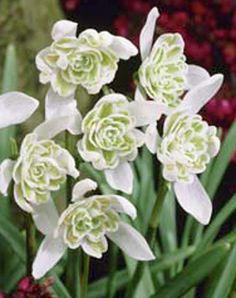 Groen.net - uw online tuinman Galanthus nivalis 'Flore Pleno'