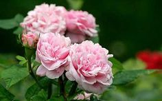 Rosa x damascena - Roses are an evocative link to the past and the future