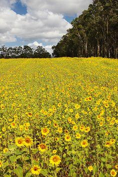 Field of Sunflowers, Pokolbin, Hunter Valley, Australia | Ewen Charlton