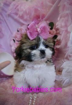 Pin By Maya Cachia On Amazing Dogs Shih Tzu Puppy Shih Tzu Shitzu Puppies