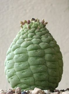 Larryleachia cactiformis.ex.Afroplants.Cheste2010.foto2 | Flickr - Photo Sharing!