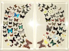large 24 by 36 butterflies in lucite frames.