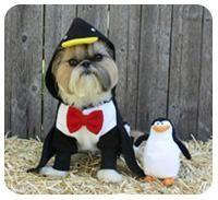 Penguin costume for a shih tzu! Omg