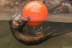 Otter-Plays-with-a-Beach-Ball.jpg (600×400)