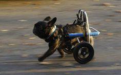 loving dog running on wheels