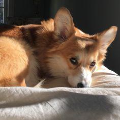"""Sleepy fluffy Sunday.  #imnotmoving #sundayafternoon #cozy #selfiesunday #corgination #corgisofinstagram"""
