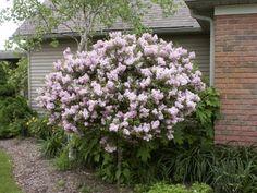 Lilac Tree, Miss Kim on Standard  Syringa patula 'Miss Kim'