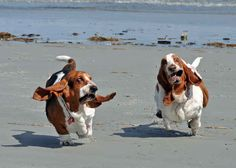 Basset Hounds Running