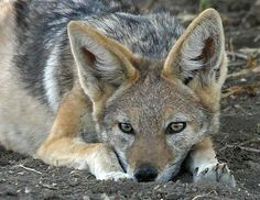 images jackel | Funny Jackal Pictures | Funny Animals