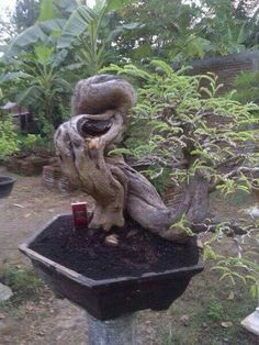 Bonsai Tree Care, Indoor Bonsai Tree, Bonsai Art, Bonsai Plants, Bonsai Garden, Front Garden Landscape, Garden Landscaping, Juniper Bonsai, Beautiful Chickens